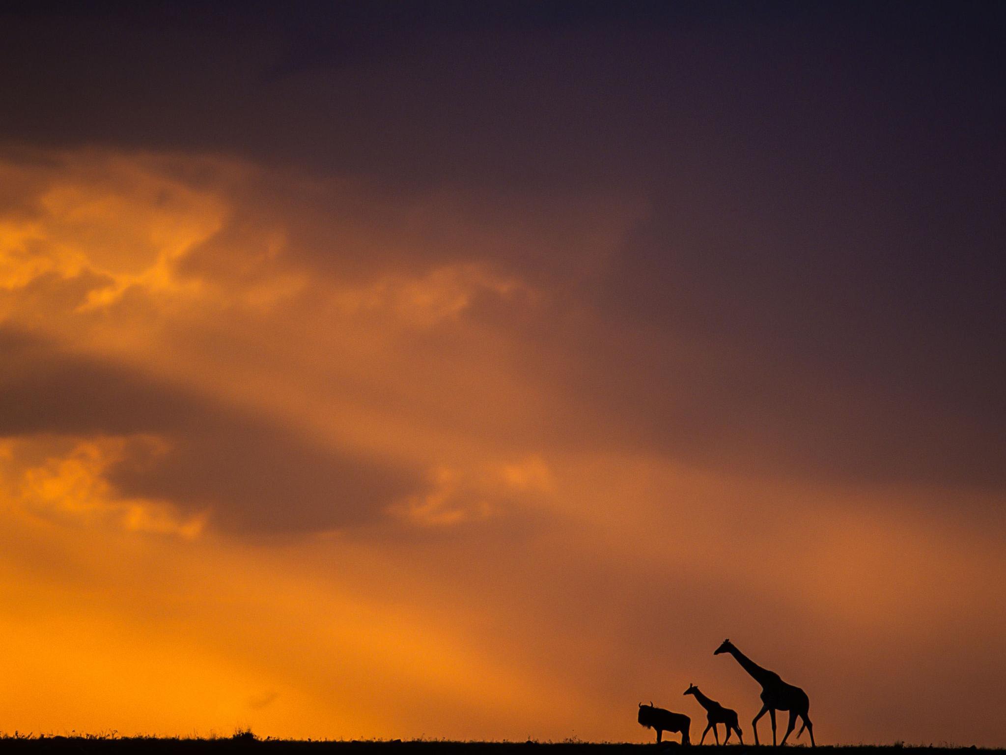 日落��b%�/i�k�y�_肯尼亚马塞马拉,日落时分漫步草原的长颈鹿与牛羚.